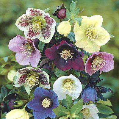 Deluxe Single Helleborus Mix (3 Bareroot Plant)