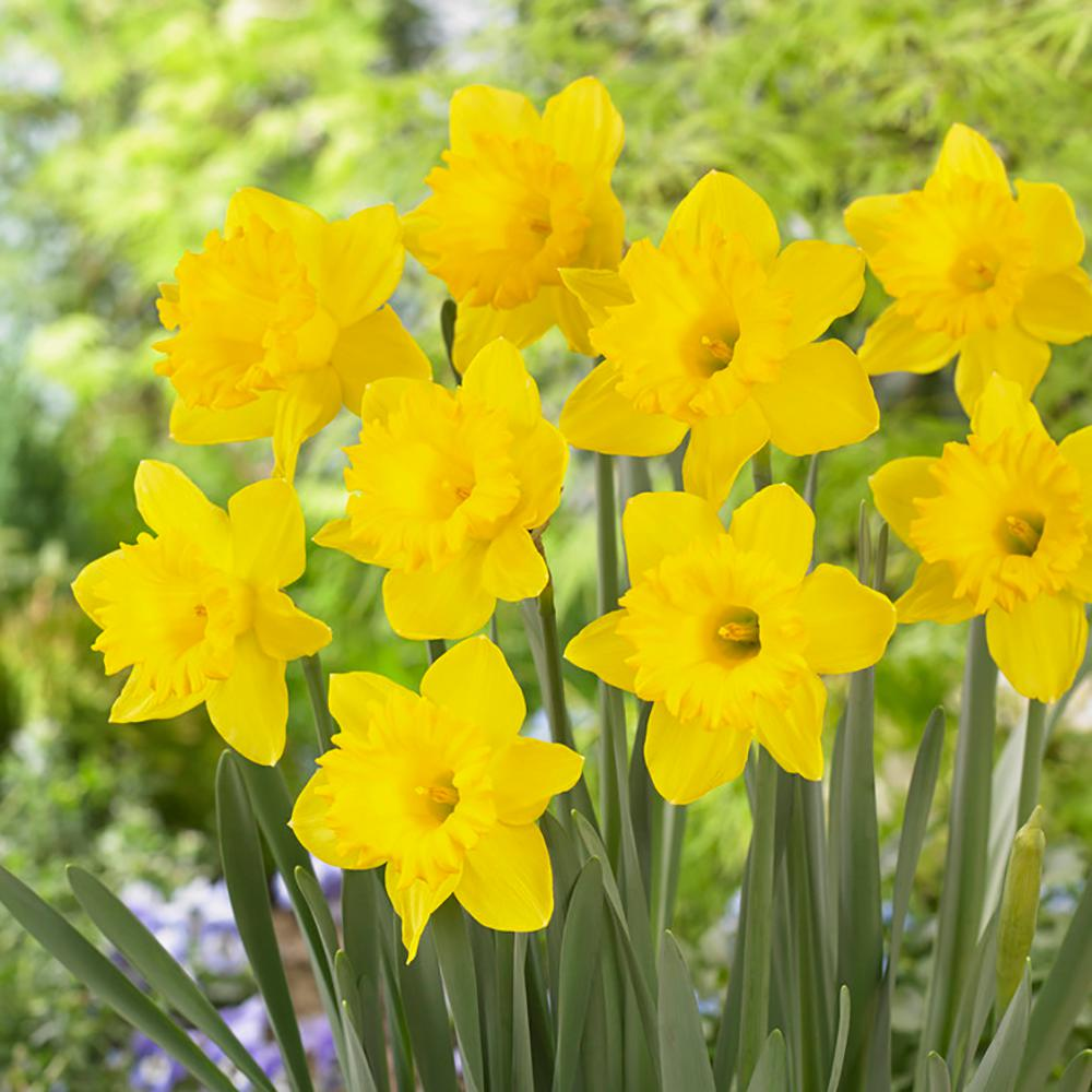Garden State Bulb Daffodil King Alfred Bulbs 100 Count Pack