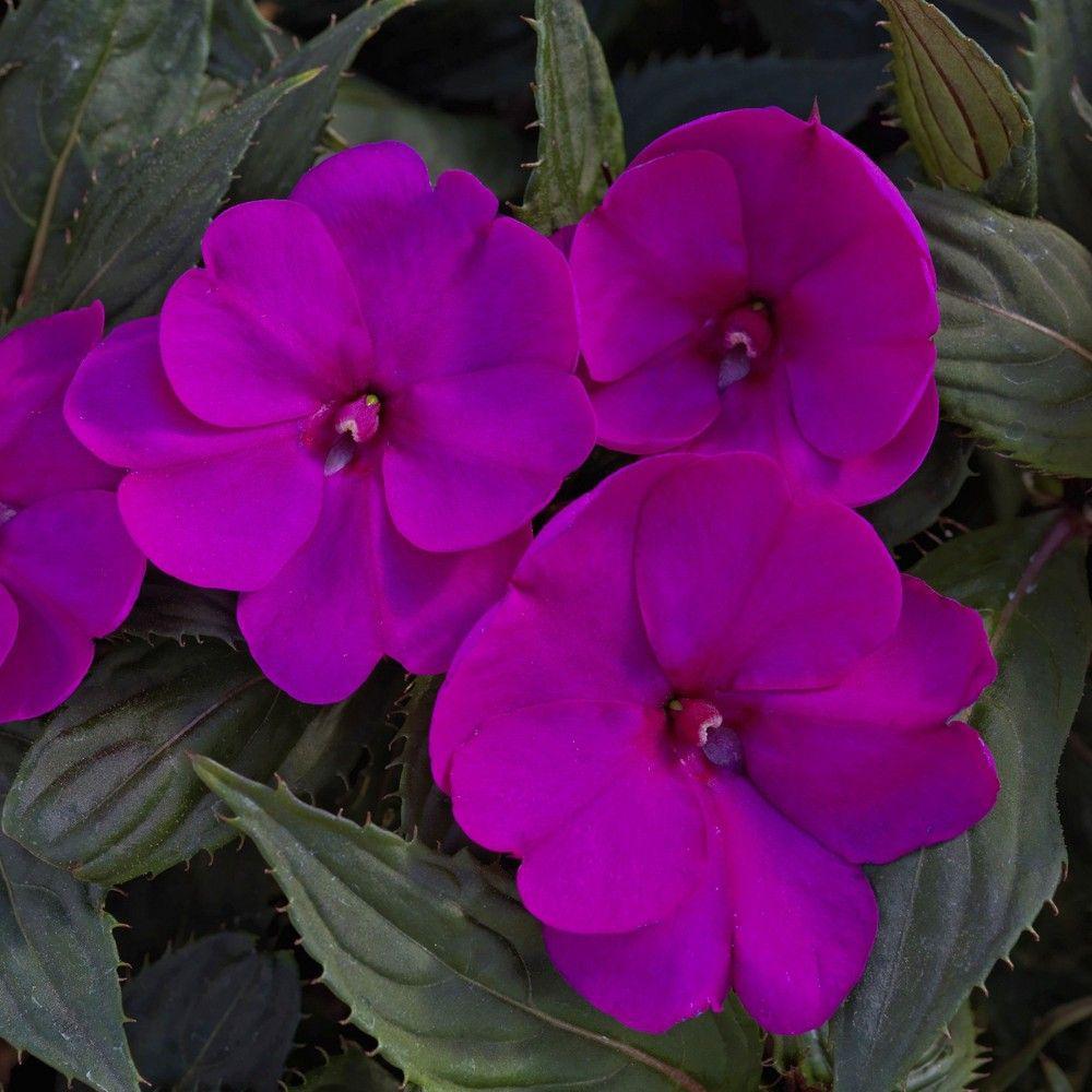 SunPatien Purple Impatien Plant (18-Plants)