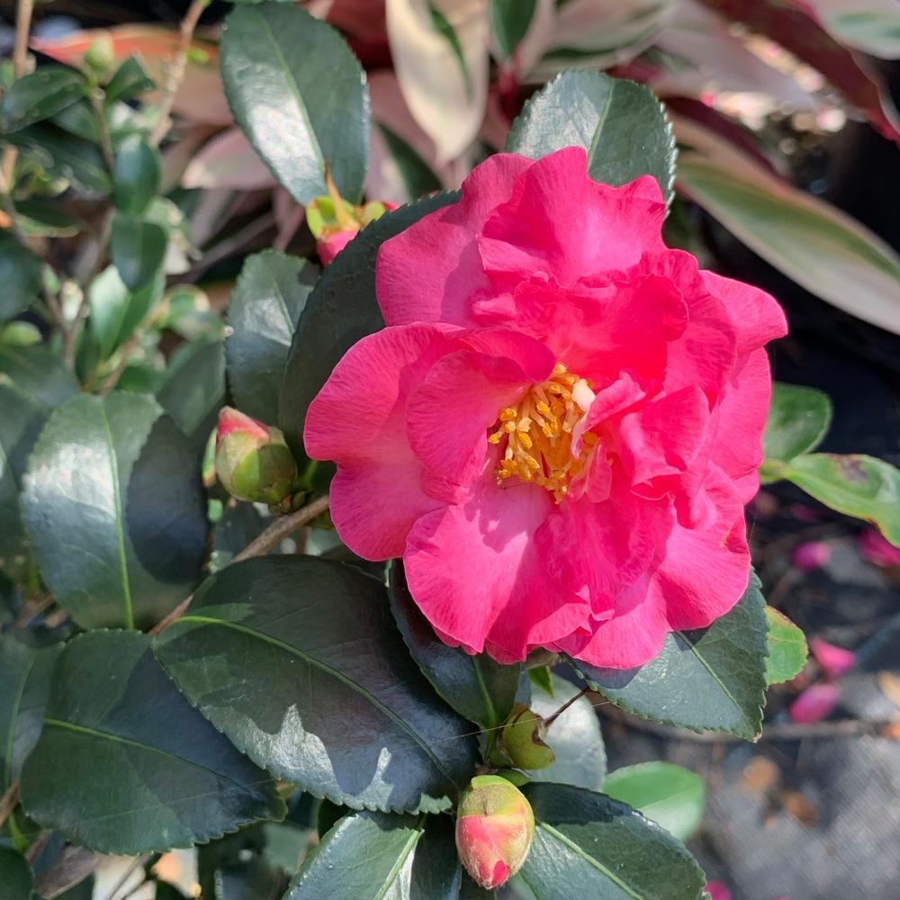 Onlineplantcenter 3 Gal Shishi Gashira Camellia Flowering Shrub