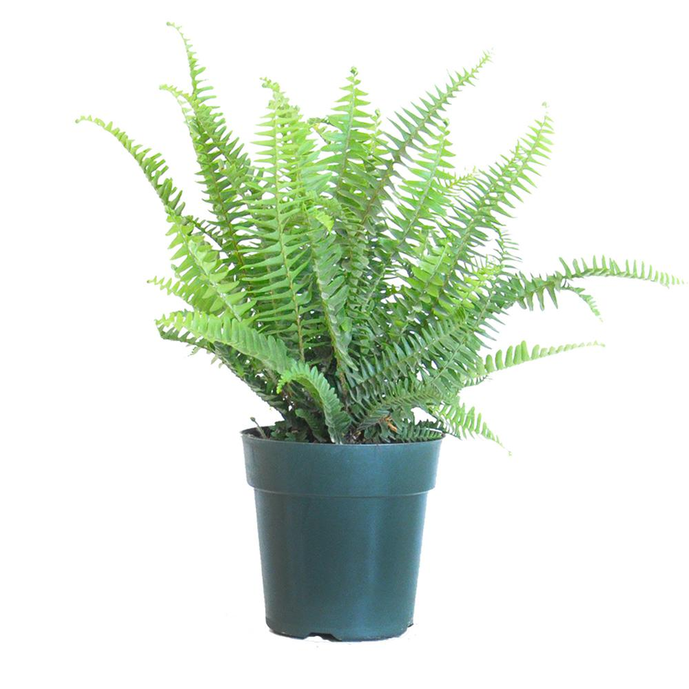 United Nursery 6 In Kimberly Queen Fern Live Indoor Outdoor Plant