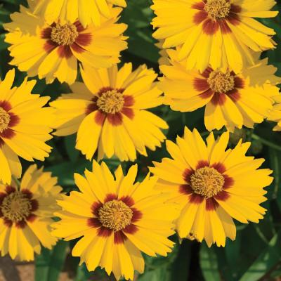 2.5 Qt. Lil Bang Enchanted Eve Yellow and Orange Tickseed Plant