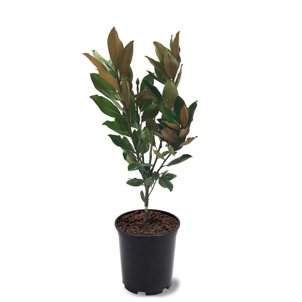 1 Gal. Little Gem Southern Magnolia Tree