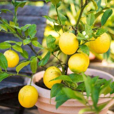 4 in. Pot White Flowers to Yellow Fruit Small Meyer Lemon Tree Live Fruiting Tropical Tree (1-Pack)