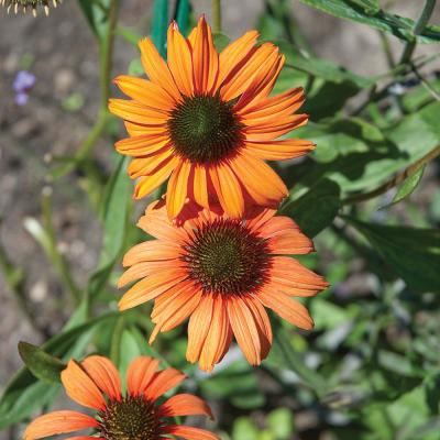 2.5 Qt. Sombrero Adobe Orange Coneflower Plant