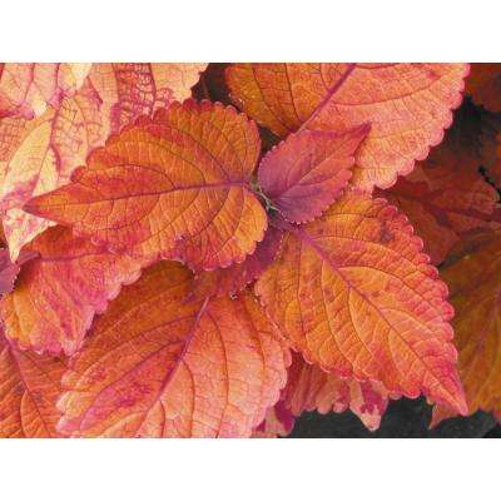 Colorblaze Sedona Coleus 4.25 in. Grande