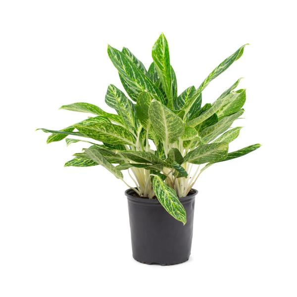 1.9 Gal. Aglaonema Golden Madonna Chinese Evergreen Plant in 9.25 In. Grower's Pot