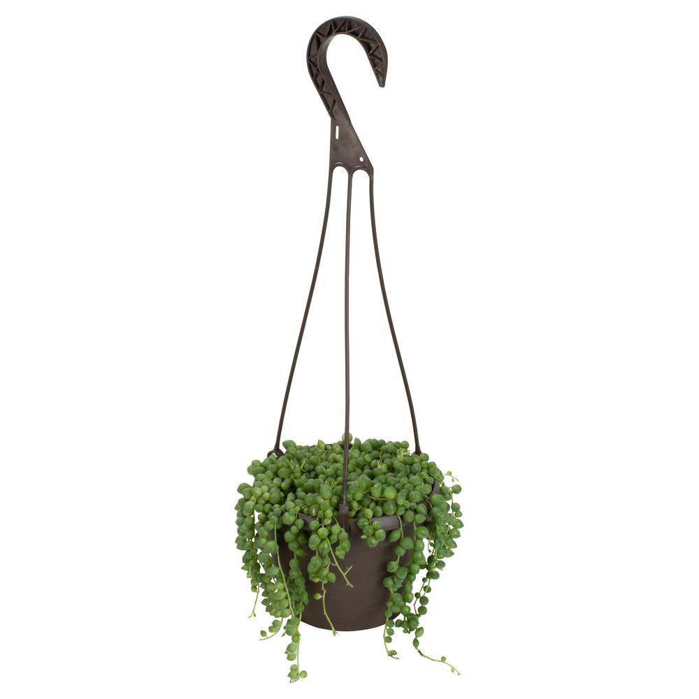 Altman Plants 6 In Orted String Of Pearls Hanging Basket Plant