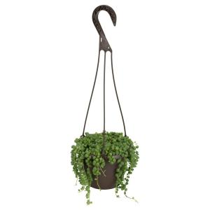 6 in. Assorted String of Pearls Hanging Basket Plant