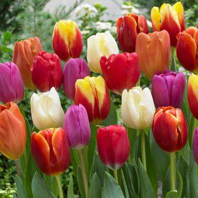 Tulips Bulbs Triumph Mixture (Set Of 100)