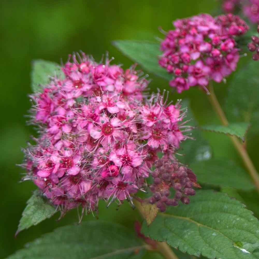 Proven Winners Double Play Artisan ColorChoice Spirea - 4.5 in. Quart