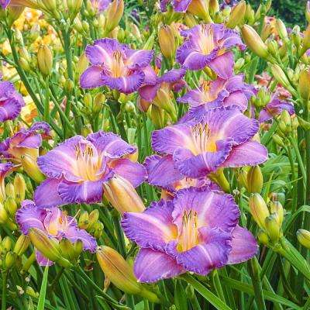 Entrapment Daylily (Hemerocallis) Live Bareroot Perennial with Purple Flowers (3-Pack)