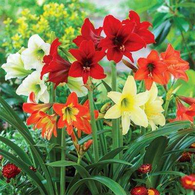 Hardy Garden Amaryllis Mixed Bulbs (3-Pack)