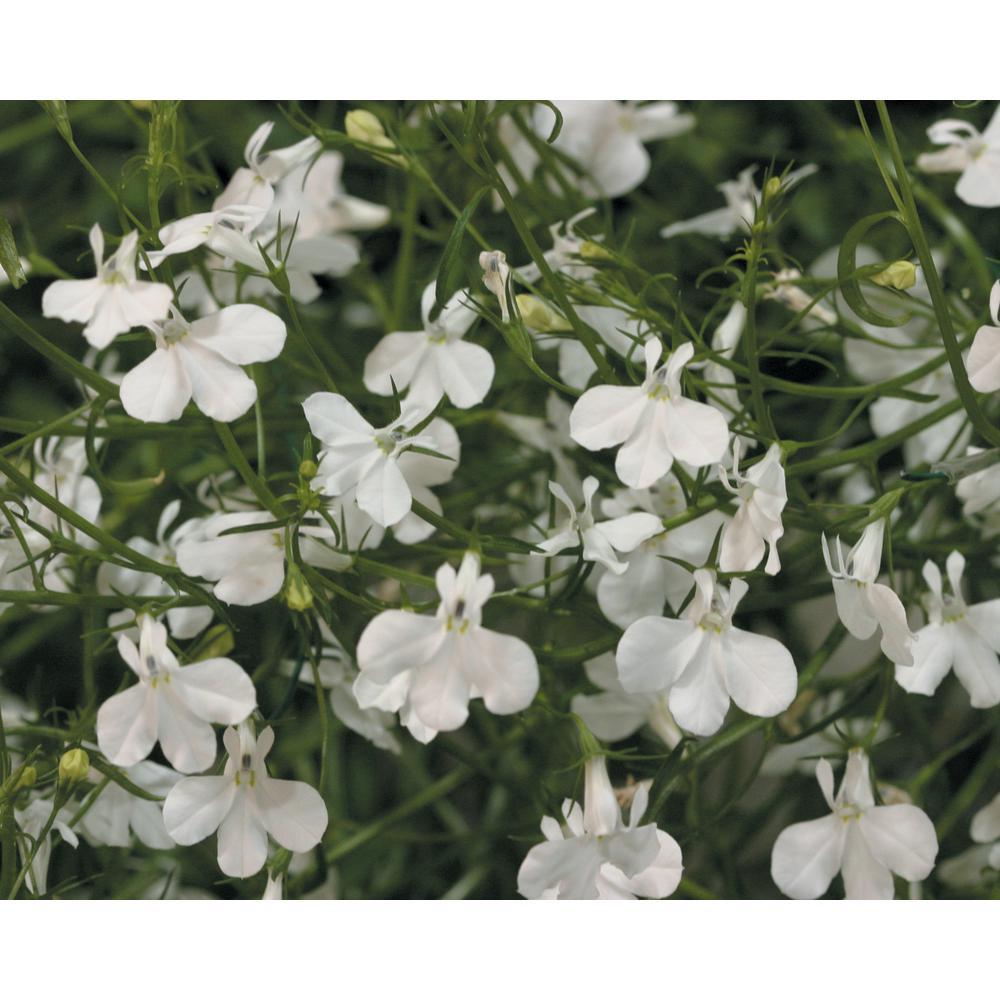 Laguna White (Lobelia) Live Plant, White Flowers, 4.25 in. Grande, 4-Pack