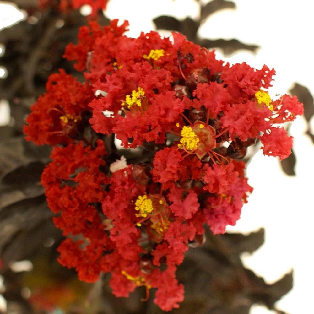 Best Red E Myrtle