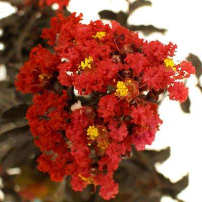Best Red Crape Myrtle
