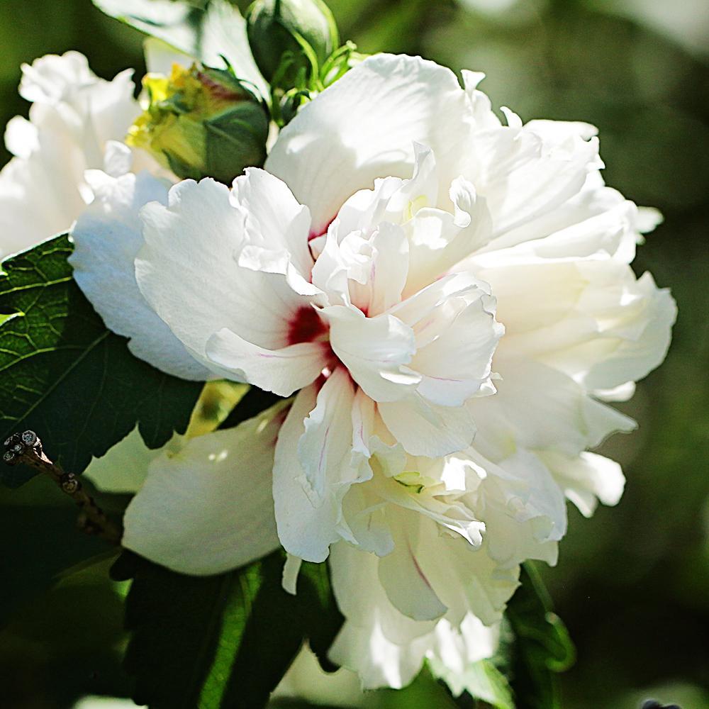 1 Gal. Double White Althea Shrub