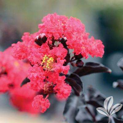 4 in. x 4 in. x 10 in. Crape Myrtle Red Hot Container