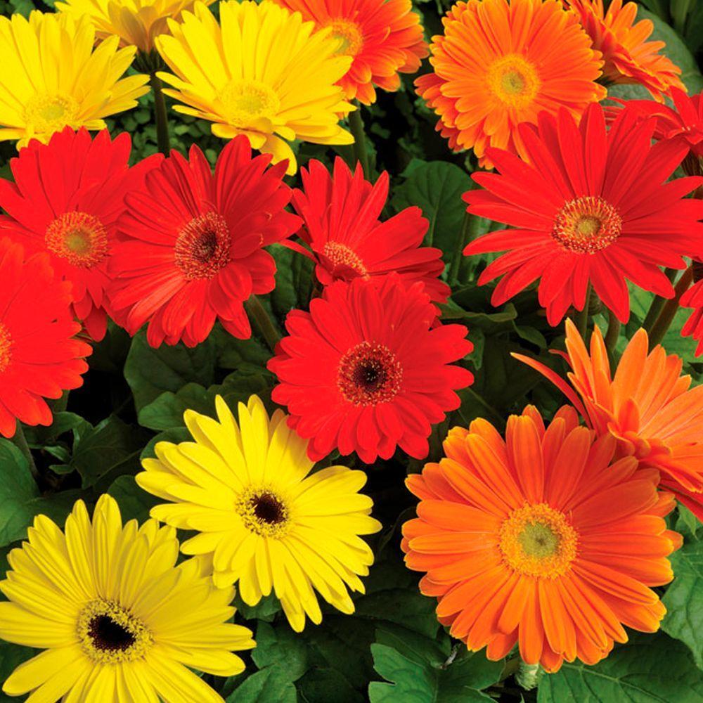 Proven Winners Ezdazy Salsa Mix Gerbera Live Plant Red Orange