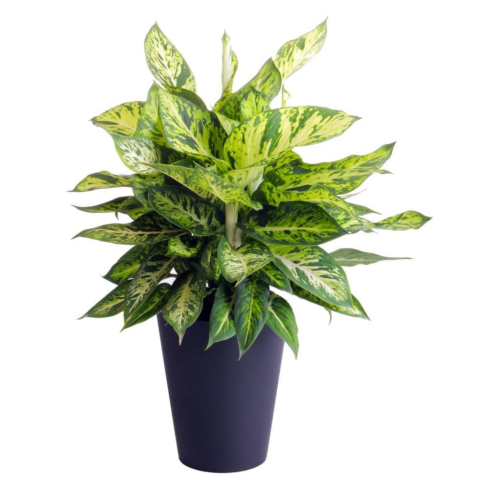 Waterwick 6 in dieffenbachia sparkles self watering in Home depot palm beach gardens