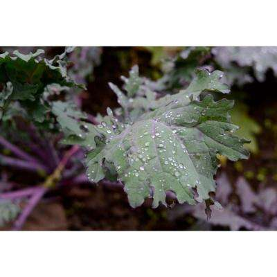 Red Ursa Kale, Live Plant, Vegetable, 4.25 in. Grande
