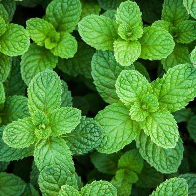 4 in. Spearmint Herb Plant (3-Piece)