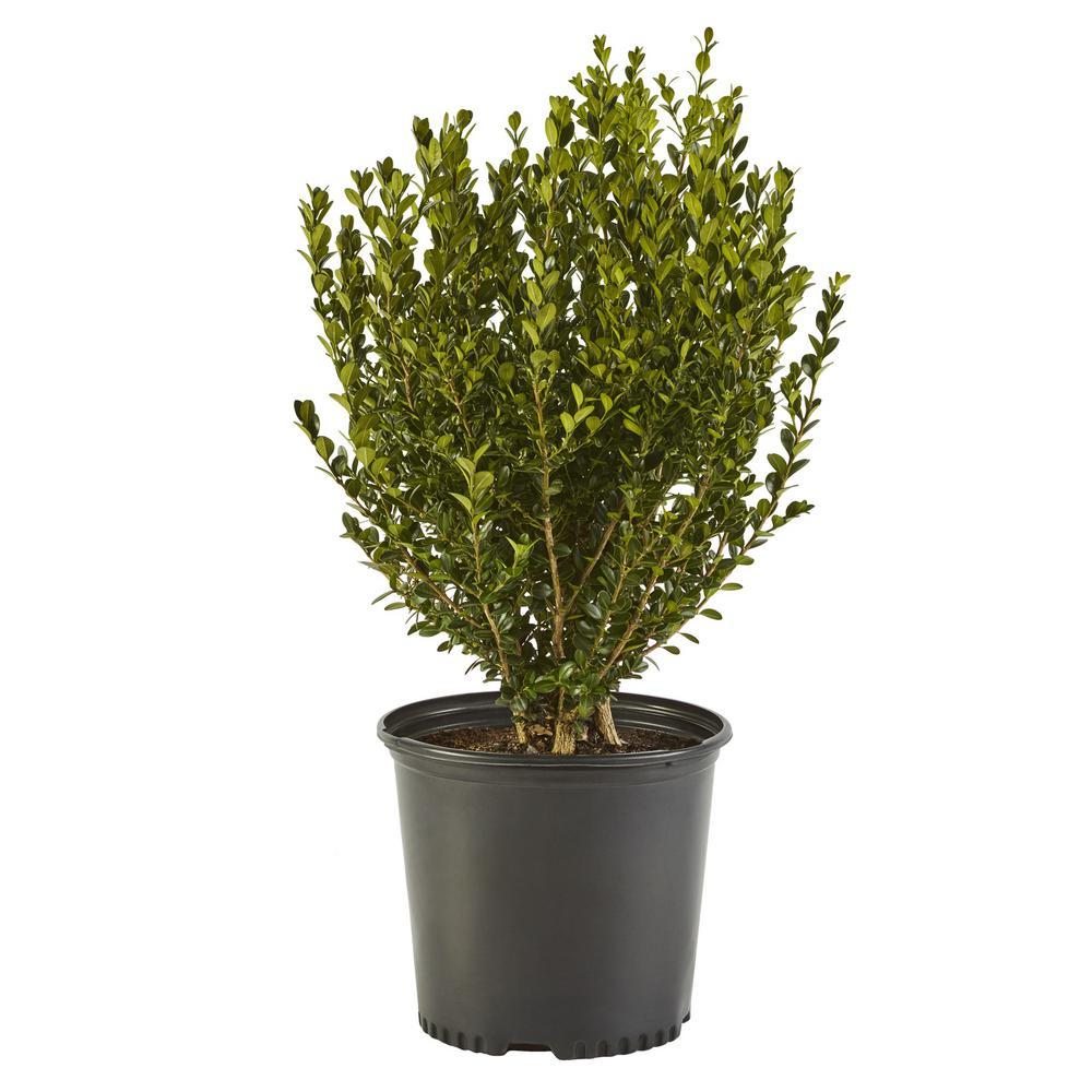 2.5 Qt. Wintergreen Boxwood Shrub Plant