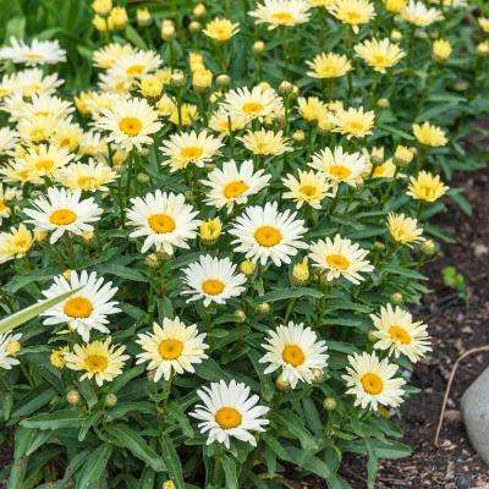 White Flowers Broadway Lights Shasta Daisy (Leucanthemum) Live Bareroot Perennial Plant (1-Pack)