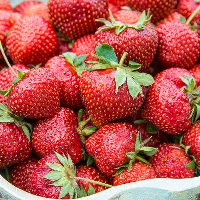 Flavorefest Strawberry (Fragaria) Live Bareoot Fruiting Plants (25-Pack)
