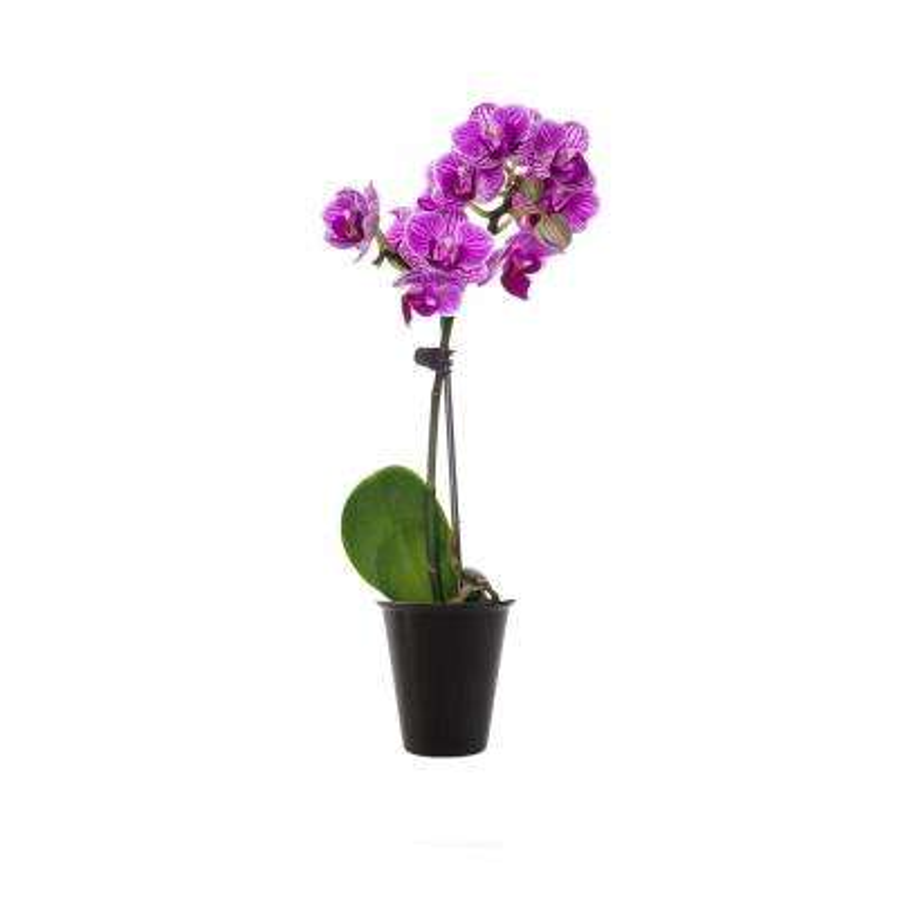 Purple Mini Orchid Plant in Bio Pot