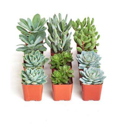 2 in. Blue/Green Collection Succulent (Collection of 12)