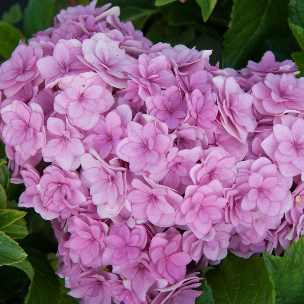 4 in. Pot Forever and Ever Together Hydrangea Live Deciduous Plant Blue or Pink Flowers with Green Foliage