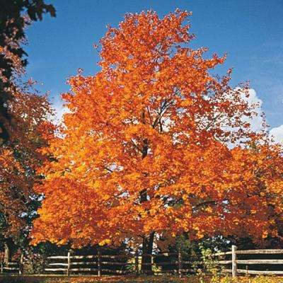 Green Foliage Sugar Maple (Acer) Live Bareroot Shade Tree (1-Pack)