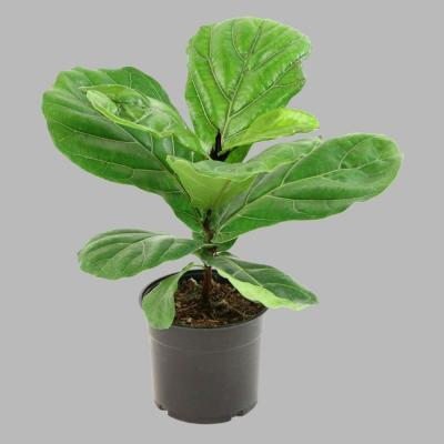 5.5 in.  Fiddle Leaf Fig Plant in Pot