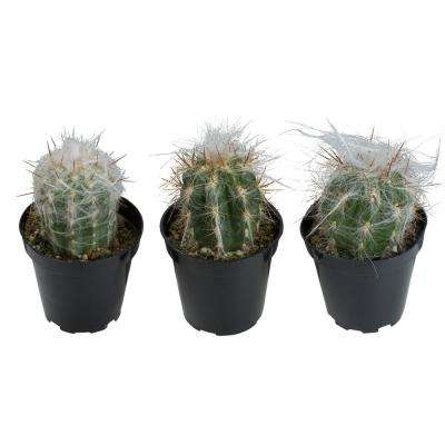 3.5 in. Assorted Old Man Cactus (3-Pack)