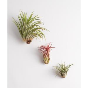 shop succulents ionantha air plant 3 pack 3 airp iona. Black Bedroom Furniture Sets. Home Design Ideas