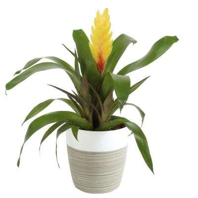 Bromeliad Grower's Choice Colors in 4 in. Decor Por