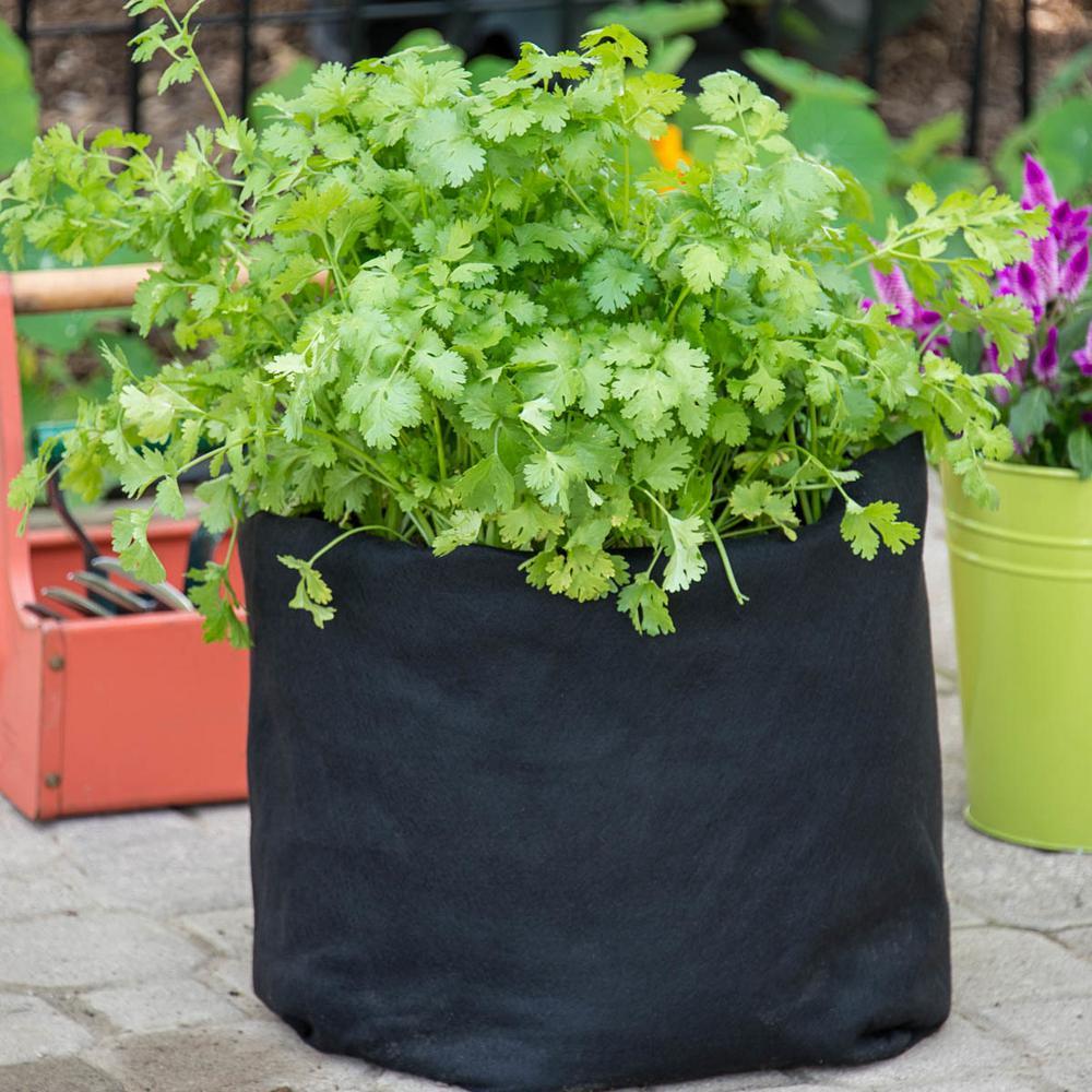 Gurney's Herb Coriander/Cilantro (50 Seed Packet)