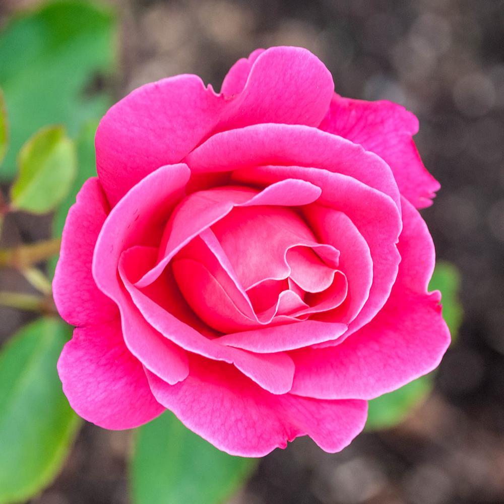 Pink Peace Hybrid Tea Rose, Live Bareroot Plant, Pink Color Flowers (1-Pack)