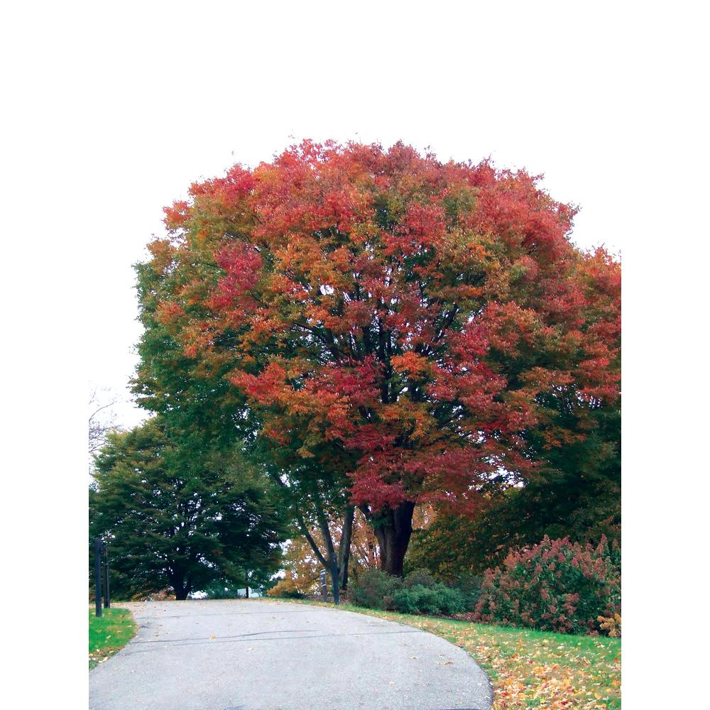 Spring Hill Nurseries Green Foliage Japanese Zelkova Tree Live Bareroot Shade Tree (1-Pack)