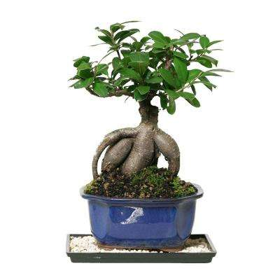 Bonsai trees indoor plants the home depot gensing grafted ficus indoor mightylinksfo