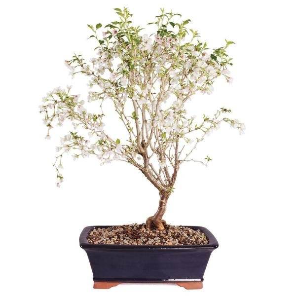 Brussel S Bonsai Dwarf Cherry Dt0418fc The Home Depot