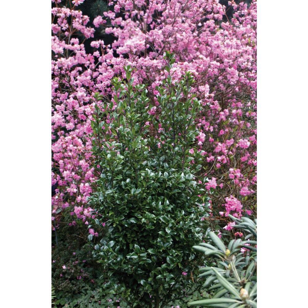 Castle Wall Blue Holly (Ilex) Live Evergreen Shrub, White Flowers, Pollinator,1 Gal.