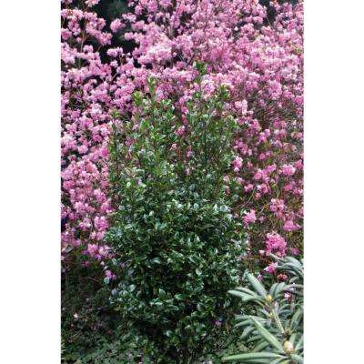 Castle Wall Blue Holly (Ilex) Live Evergreen Shrub, White Flowers, Pollinator, 4.5 in. qt.