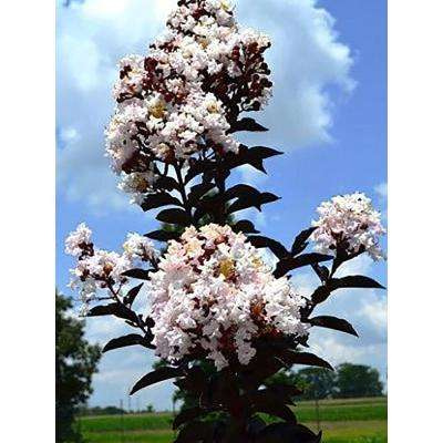 4 in. x 4 in. x 10 in. Crape Myrtle Moonlight Magic Container