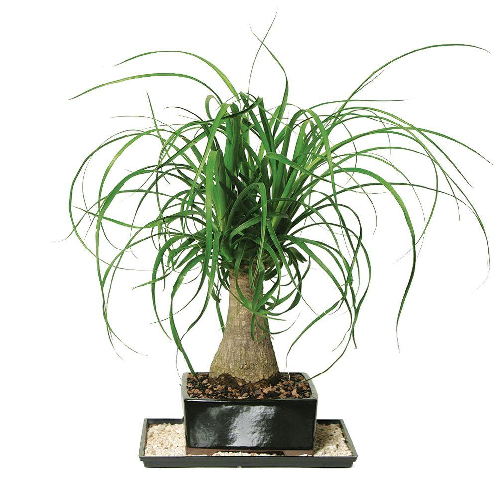 Brussels Bonsai Ponytail Palm Indoor DT 7001PTP The