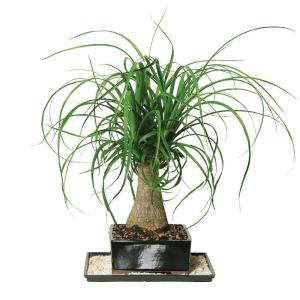 Brussel 39 S Bonsai Ponytail Palm Indoor Dt 7001ptp The