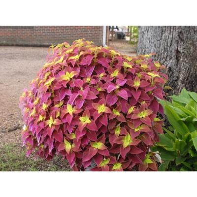 1.38 Pt. Coleus Plant Alabama Red/Yellow in 4.5 In. Grower's Pot (8-Plants)
