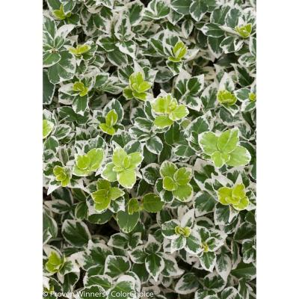 White Album Wintercreeper (Euonymus) Live Shrub, Green and White Foliage, 4.5 in. qt.