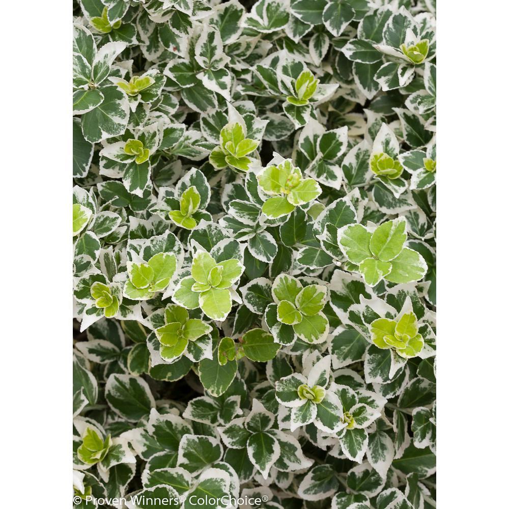 PROVEN WINNERS White Album Wintercreeper (Euonymus) Live Shrub, Green and White Foliage, 4.5 in. qt.
